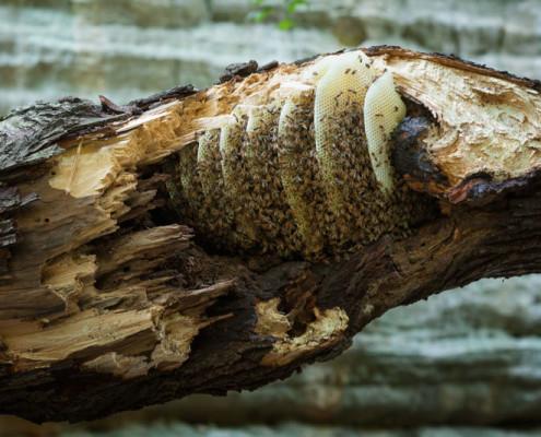 wild-hive