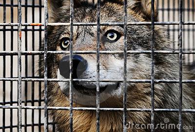 wolf-4442175