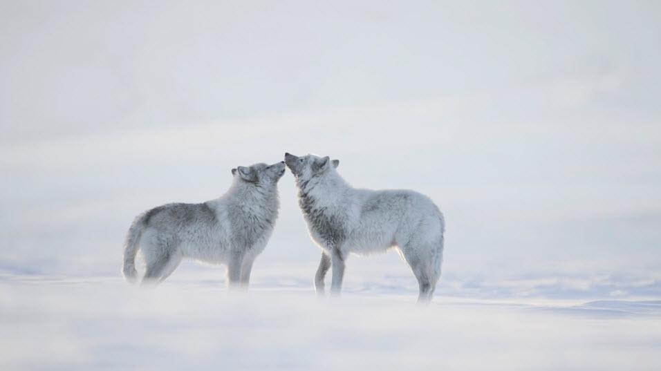 arctique10