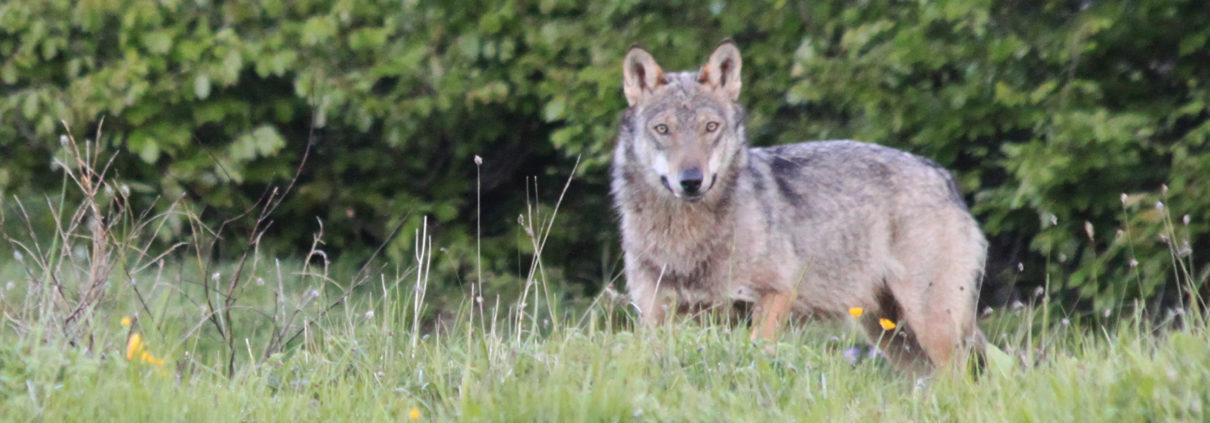 lupi estremi