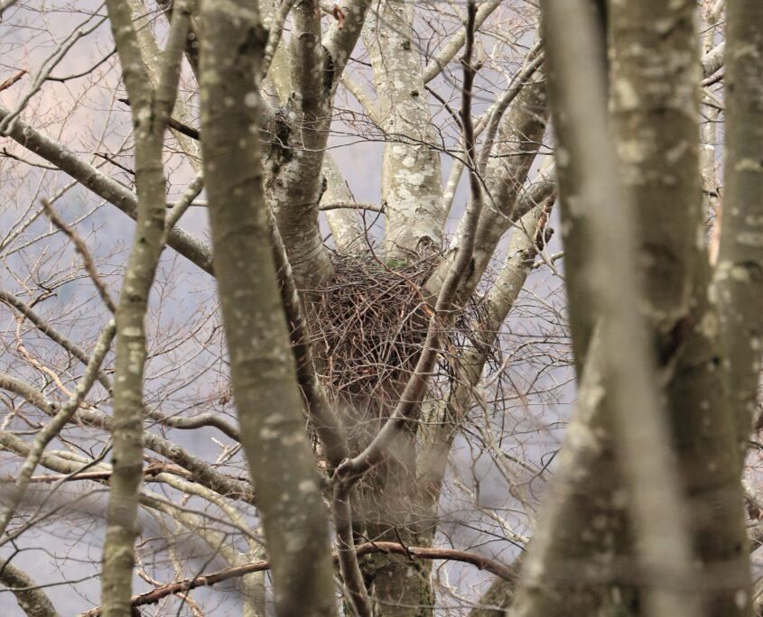 Nel 2020 fallì la nidificazione di un Astore, a causa dei tagli massicci di faggi vetusti (Val Trebbia 2021)